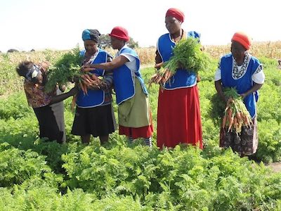 ward15 is flourishing - women are harvesting armloads of carrots